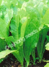 LettuceRoundLeaf