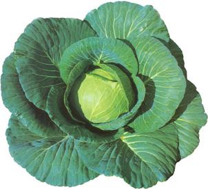 CabbageBlueVantage