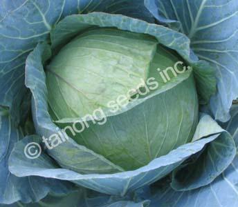 Cabbage Maximus