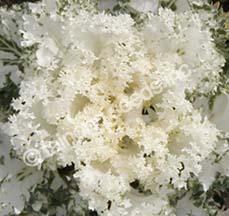 FloweringKaleWhite